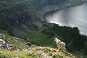Glacier Park Mountain Goat