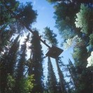 A Walk-in-the-Treetops in Whitefish